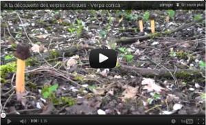 A la découverte des verpes coniques - Verpa conica