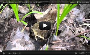 Youtube - Une belle récolte de morilles en avril 2012