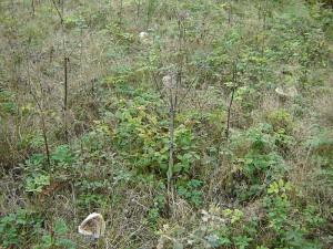 De jolies colonnies de lépiotes dégunillées - Chlorophyllum rhacodes.