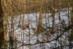 Chevreuils dans la forêt enneigée début mars 2013