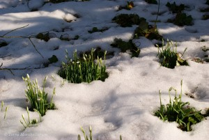 Perce-neige en bouton fin février 2013