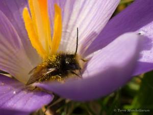 Signe que le printemps arrive tout doucement, au moindre rayon de soleil, les insectes butineurs en profitent pour se jeter sur le pollen, ici dans un crocus en fleur