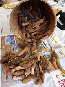 Exemple de récolte de morilles coniques - Morchella elata en 2012.