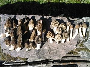Une récolte simultanée de morilles coniques - Morchella elata, blondes - Morchella esculenta, et verpes coniques - Verpa conica, en 2011.