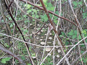 Une belle pousse d'entolomes printaniers - Entoloma sepium en 2012.