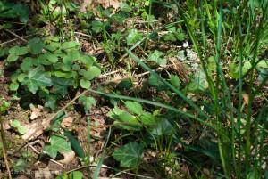 Deux belles morilles coniques, Morchella conica, cachées par la végétation.