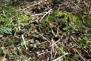 3 morilles coniques - Morchella elata