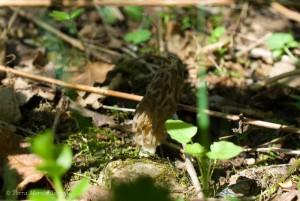 La même jeune morille conique, Morchella conica, qui peine à grandir, photographiée le 24 avril.