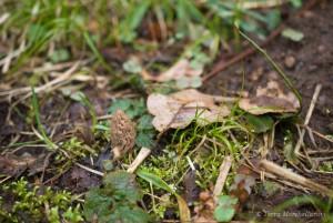 Une jeune morille conique - Morchella elata en train de pousser. 9 avril 2013. Sur la droite, une taupinière donne une idée du terrain, plutôt alluvionnaire.