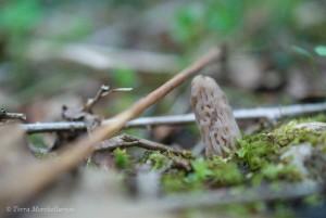 Une jeune morille conique, Morchella conica, en train de pousser, photographiée le 18 avril.