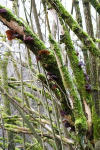 Une impressionnante colonie d'oreilles de Judas - Auricularia auricula-judae sur un ancien sureau.