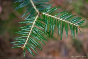 Aiguilles plates dont le dessus est d'un beau vert sombre brillant, disposées en peigne, à l'insertion ronde et au bout arrondi caractéristiques du sapin pectiné ou sapin des Vosges - Abies alba ou Abies pectina.