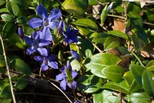 Pervenches - Vinca minor L., en pleine floraison.