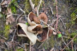 Pézize veinée ou oreille de cochon - Disciotis venosa, deux spécimens avec une jolie forme qui leur ont valu leur nom populaire d'oreille de cochon.