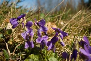 Violettes - Viola, en fleur.