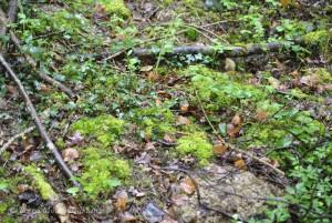 Taupinière, humidité et mousse au sol dans une secteur riche en frênes. Un biotope normalement idéal pour la pousse des morilles.