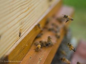 Abeille chargée de pollen qui rentre à la ruche.