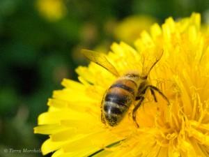 Une abeille pleine de pollen butinant une fleur de pissenlit. Avant, j'arrachais ou tondais les pissenlits.