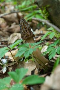 Une morille conique du Haut Doubs poussant sur les sols typiquement calcaires du Jura.