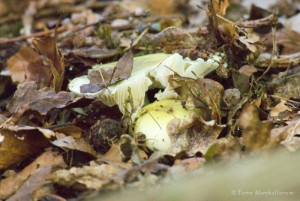 De belles russules - Russula sp