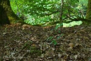 Cèpes d'été - Boletus aestivalis poussant sous de gros chênes.