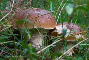 Deux magnifiques cèpes de Bordeaux - Boletus edulis poussant en lisières de résineux dans l'herbe.