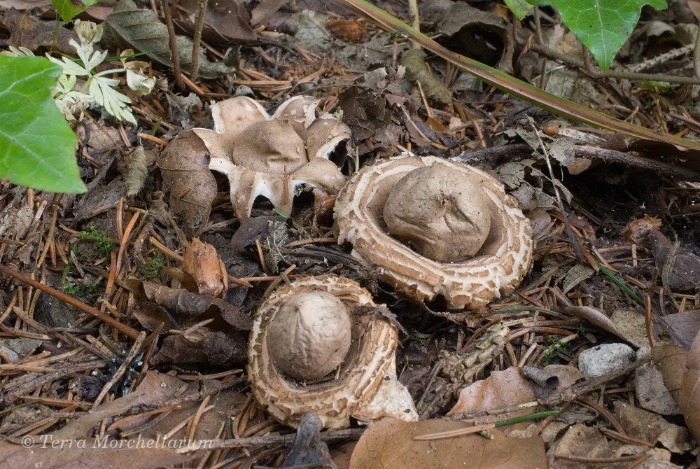 Cueillette Des Champignons C Est Parti Terra Morchellarum