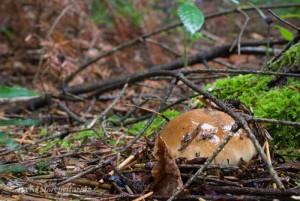 Un jeune cèpe de Bordeaux - Boletus edulis en train d'émerger d'un tapis d'aiguilles et de petites branches.