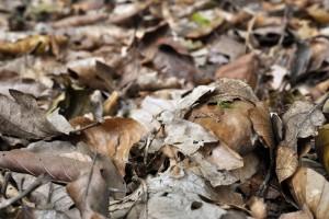Un joli bouchon de cèpe sous les feuilles, difficile de savoir si on a affaire à un cèpe bronzé - Boletus aereus ou un cèpe d'été - Boletus aestivalis.