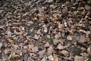 Bouchons de cèpe - Boletus edulis le 22 septembre 2013. Il faut faire attention où l'on pose les pieds.