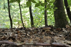 Un jeune cèpe - Boletus edulis caché sous les feuilles le 22 septembre 2013.