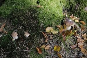 Une jolie ligne de petits cèpes - Boletus edulis de toute taille.