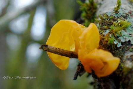 Une jolie trémelle orangée - Tremella aurantia, signe que la nature se réveille.