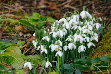 Le 18 février, les perce-neige sont en fleur.