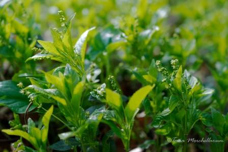 La mercuriale annuelle, mercurialis perennis, une plante très appréciée des morilles blondes en particulier.