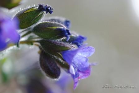 Les pulmonaires débutent également leur floraison comme en avril ou mai.