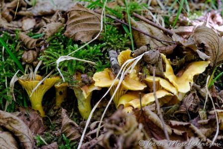 Girolle améthyste - Cantharellus amethysteus : jolie taille et nombreuses.