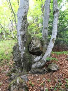 Un hêtre poussant sur la roche.