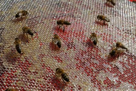 Les abeilles récupèrent le miel dans les mailles du filtre et font tomber la cire coincée.