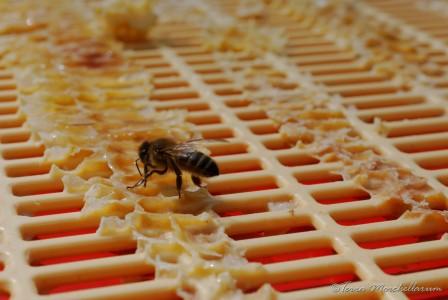 Léchage des grilles à reine par les abeilles.