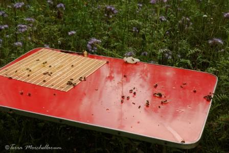 Nettoyage de la table par les abeilles.