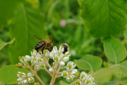 Une abeille butineuse récupère le nectar d'une fleur d'arbre à miel -Tetradium daniellii ou Euodia daniellii.