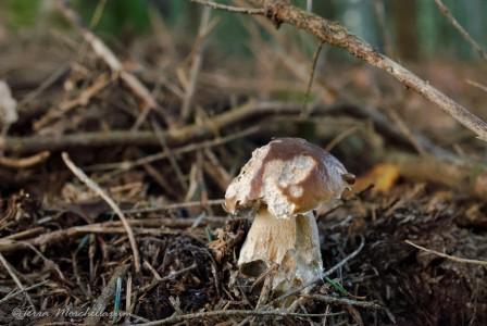 attaque de limace sur un jeune cèpe.