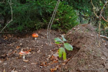 deux amanites tue-mouche profite d'une foumilière en partie détruite par le gibier.