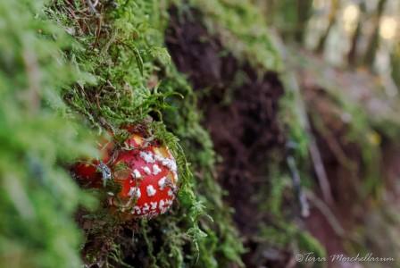 une jeune amanite tue-mouche fait de l'escalade.