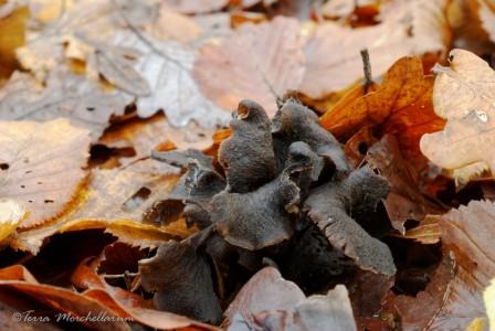 De vieilles trompettes de la mort - Craterellus cornucopioides cachées sous les feuilles.