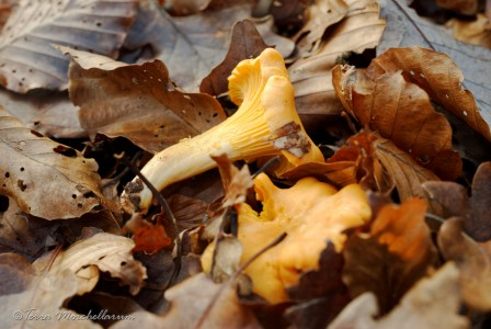 Des girolles - Cantharellus sp toute fraiche photographiées en décembre dans les Vosges Saônoises.