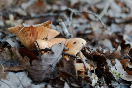 Des lactaires saumons - Lactarius salmonicolor sous les sapins des Vosges