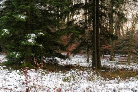 Les branches basses des sapins ont protégé le sol de la neige.