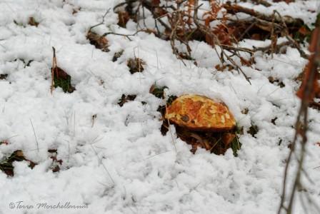 Un vieux bolet à pied rouge sous la neige.
